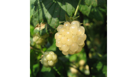 Белая Ежевика(Polar Berry)