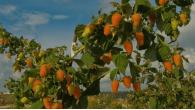 Оранжевое чудо ремонтантная